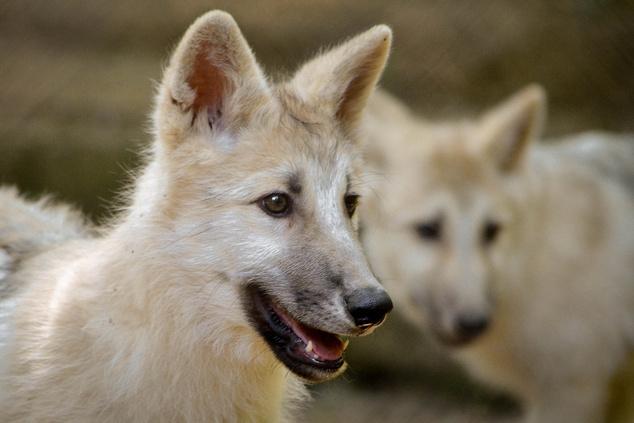 Fehér farkas kölykök