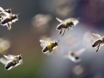 Méhgyilkos rovarölő szereket vetne be Magyarország