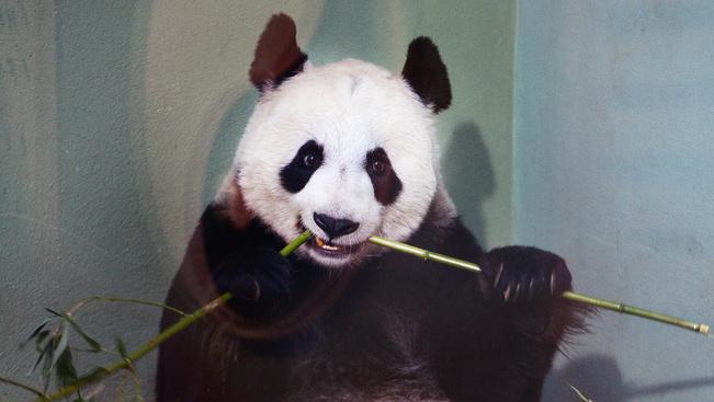 Egyetlen nemzeti parkba terelnék össze a kínai óriáspandákat