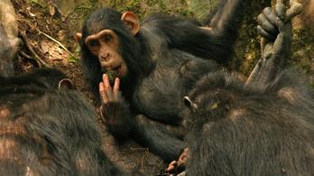 Egymástól is tudnak tanulni a csimpánzok
