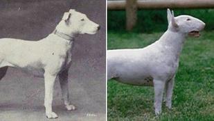 Ennyit tett száz év nemesítés a kutyákkal