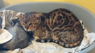 Melltartó nélkül menekül az izlandi macskatolvaj