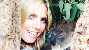 Ez a koala még álmosan is ezerszer aranyosabb Heidi Klumnál