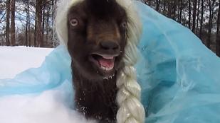 Dobjon el mindent, itt van az Elzának öltöztetett kecske