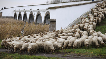 Nem lesz juhapokalipszis a Hortobágyon