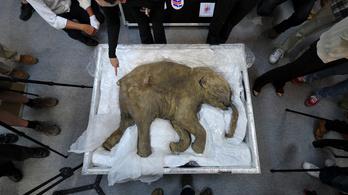 Mamut-DNS-t ültettek egy elefántba