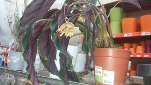 Pusztuló növényt venne? A Bauhausban megteheti!