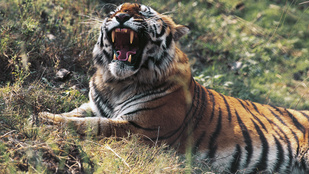 Szokott kávét inni? Gratulálunk, ön is felel a bengáli tigrisek támadásaiért!