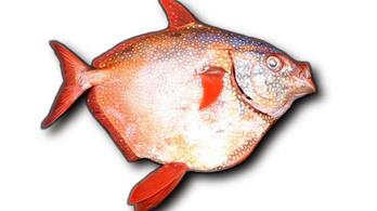 Azonosították az első melegvérű halat