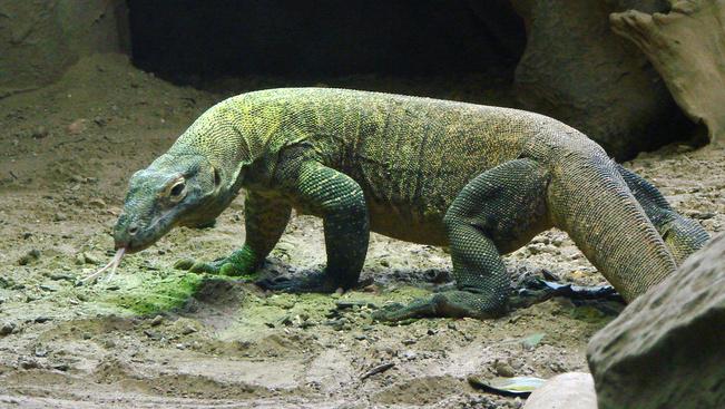 Komodói sárkány harapott meg egy turistát egy indonéziai nemzeti parkban