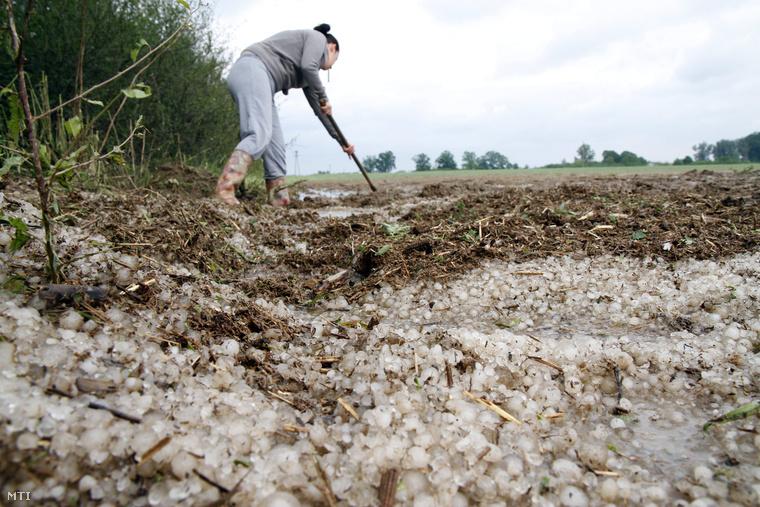 Tönkretette a jég a kukoricát Rozsály határában.