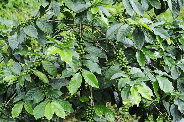 A kávécserje, még zöld bogyókkal