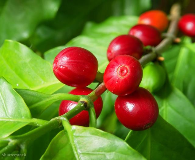 Az érett kávétermés hasonlít a cseresznyére
