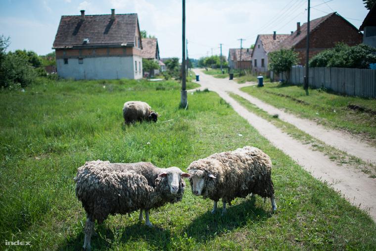 A bárányok a csörögi cigánysoron