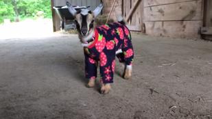 Ezekre a kecskékre pizsamát adtak, de minek