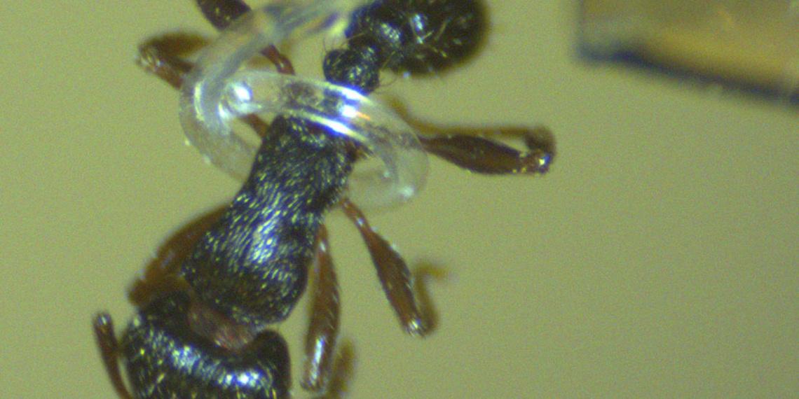 landscape-1434047121-arm-ant