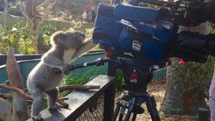 A koalák nagyon sok mindenhez értenek, de a kamerákhoz főleg