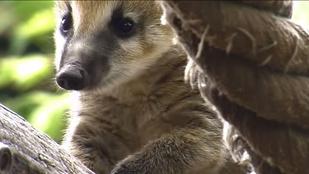Elhallgattuk: videó készült az ormányosmedve-kölykökről