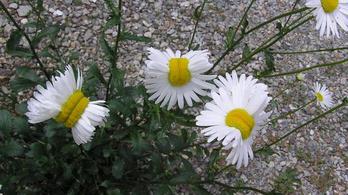 Jól látja, azok ott mutáns virágok
