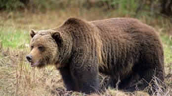 Grizzly medve ölt embert a Yellowstone parkban