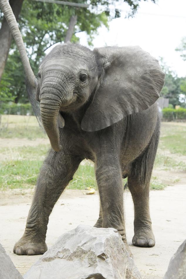 Kito, az afrikai elefántborjú az idei év sztárja