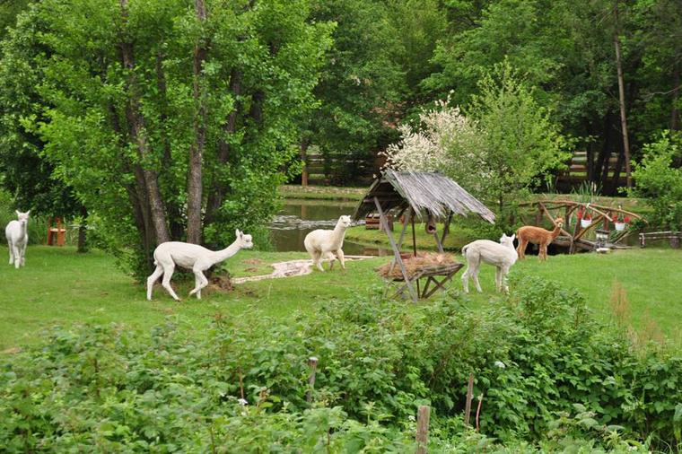 Ilyet is lehet látni Hétrétországban - Alpaka-farm Szaknyéren