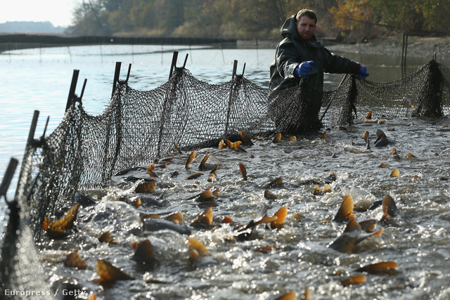 Karácsony előtti ponty lehalászás egy németországi haltenyészetben