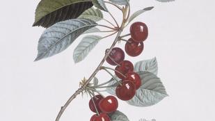 Két szétrágott cseresznyemag: ennyi a halálos dózis