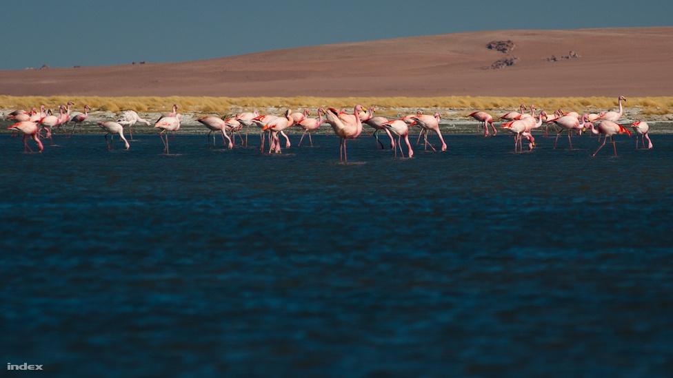 Flamingók a Salar de Tara sós tavában. A flamingóról többnyire Afrika juthat eszünkbe, csakhogy ott rózsás flamingók (Phoenicopterus roseus) élnek, míg Dél-Amerikában annak alfaja, illetve rokonai: a chilei flamingó (Phoenicopterus chilensis), az andoki flamingó (Phoenicopterus andinus), a kis flamingó (Phoenicopterus minor) és a rövidcsőrű flamingó (Phoenicopterus jamesi). A képen az utóbbi látható.