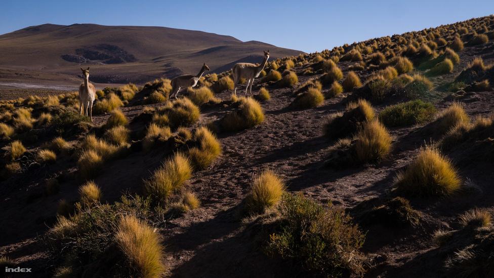 A gejzírek völgye El Tatióban, nagyjából száz kilométerre San Pedro de Atacamától, 4200 méter magasan. Több mint nyolcvan aktív gejzír található itt, és mivel ez a sivatag egyik nedvesebb területe, az állat- és növényvilág is jelentősebb. A képen vikunyák láthatók, akik a jelek szerint már megszokták a fényképező turistákat. Ez az állat teveféle, a láma rokona, de annál jóval kisebb, vállmagassága 90 centi körüli.