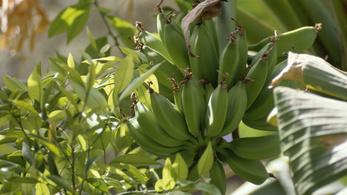 Banánízű banán sincs a banánfán