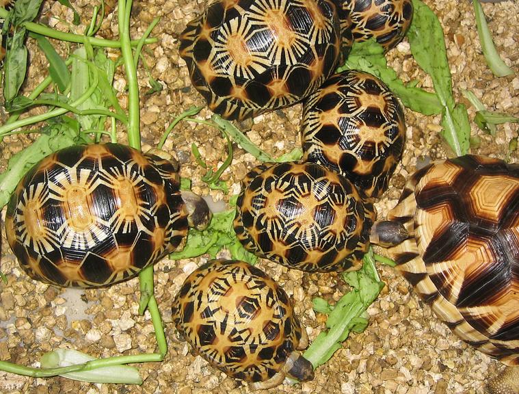 Sugarasteknős (Astrochelys radiata)