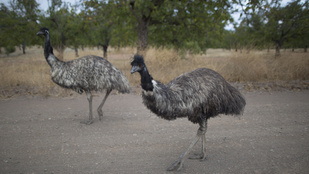 Jimmy az emu gyűlöli a motorosokat és meg is kergeti őket