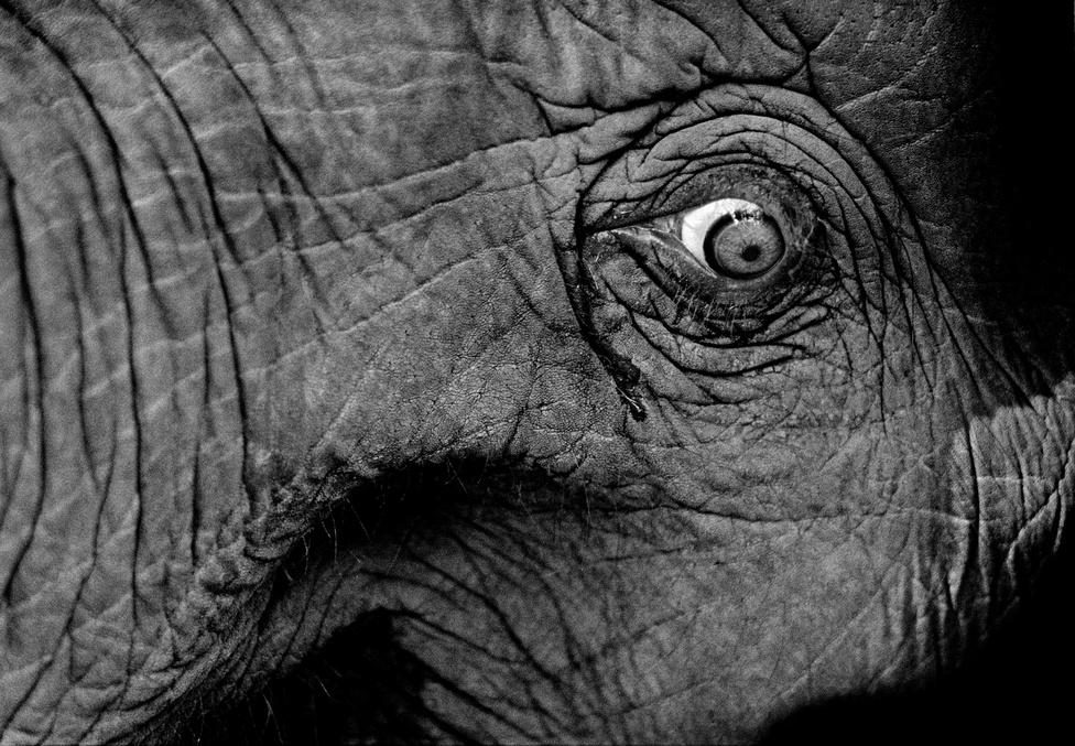 Miközben az elefánt egyáltalán nem érti, miért történik ez vele, Mohan azt figyelte meg, hogy a fizikai fájdalom hatására az elefánt sírni is képes. Többször megörökítette, ahogyan könnyek folynak az elefántok szeméből.