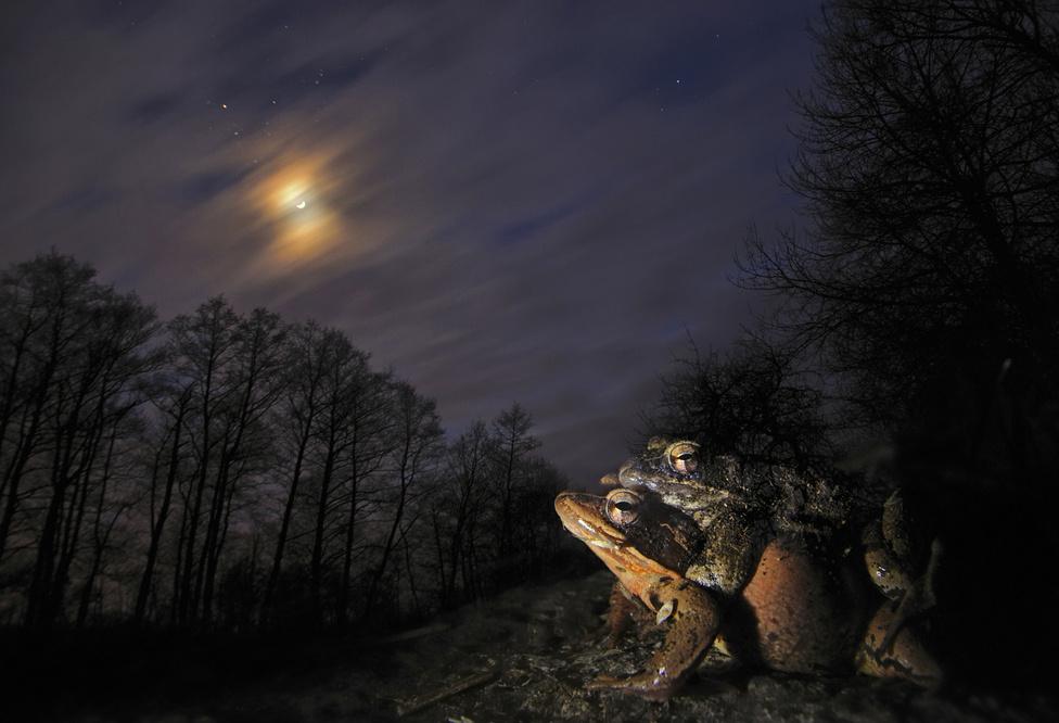 Nászéjszaka (Napnyugtától napkeltéig 3. díj)Egy kora tavaszi, holdvilágos emlék a Börzsönyből, amikor téli álmukból frissen ébredt barna varangyok, gyepi és erdei békák százai szaporodtak kedvenc vízállásukban és annak környezetében. Évek óta fotózom a békák nászát éjjel, a sötétben komponálva. A színes fátyolfelhők, valamint a Hold és a csillagok együttállása tette felejthetetlenné és megismételhetetlenné ezt a hangulatot