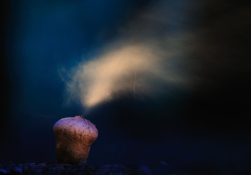 Spórafelhő(Nővények és gombák 3. díj)Szeptemberi alkonyatban, a Börzsöny sűrű, fenyves tűlevélszőnyegén komponálva fotóztam a pöfeteggombákat. A termőtest megérésekor a gomba csúcsán egy felrepedő pórus képződik, amelyen át spórák tömege száll ki, enyhe nyomásra vagy pöccintésre pedig a gomba látványos spórafelhőt lövellhet ki magából. Egyik legizgalmasabb fotótémám volt ennek a látványos jelenségnek a bemutatása, különféle megvilágításokkal kísérletezve. Hatodik alkalommal, a kék óra izgalmas miliőjében sikerült megvalósítanom az elképzelésemet.