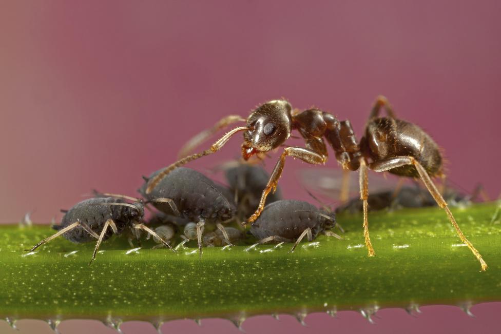 Fejőstehenek (Állatok szemtől szemben kategória)Makrotémákra vadásztam, amikor az egyik fűszálon felfigyeltem erre a rendkívül érdekes jelenetre. A hangyák – látszólag – tökéletes szimbiózisban élnek a levéltetvekkel, amelyekre folyamatosan vigyáznak, persze nem teljesen önzetlenül. Csápjaikkal ingerlik őket, aminek hatására a levéltetvek magas cukortartalmú nedvet választanak ki védekezésképpen – ezt a hangyák előszeretettel fogyasztják. Igyekeztem a helyzetről olyan fotót készíteni, amely egyetlen kockában meséli el ezt a történetet.