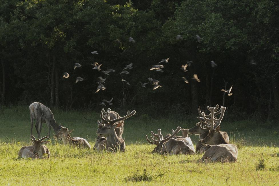 Délutáni szieszta (Az emlősök viselkedése kategória)Pihenő, kérődző bikacsapat rovarokra vadászó seregélyekkel május elején, késő délután, Páty közelében.