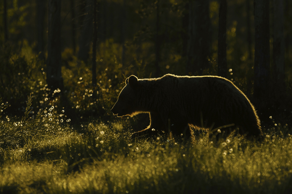 Medvesziluett (Az emlősök viselkedése kategória)                         A fotón látható barna medvét a finn–orosz határ közelében sikerült lencsevégre kapni. A medvék viszonylag későn érkeztek a területre, ezért a fénnyel sokszor küzdöttem. Ám amikor ellenfényben megjelent ez az állat, csodálatos érzés fogott el, s elkészítettem az áhított fotót.