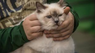A Super Cat Show legunottabb fejű macskái