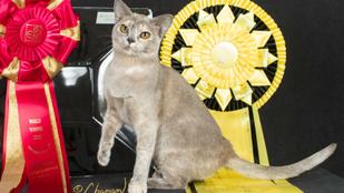 Bréking!!! Magyar macska lett a világ legszebbje!!