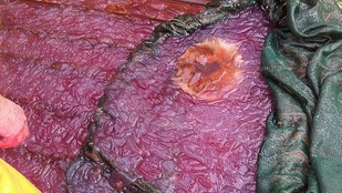 Ezt a lila nyálkás izét egy norvég fjordnál találták