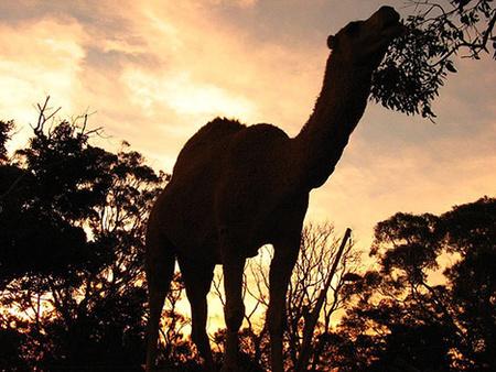 20081209-camel-australia