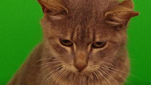 Háromfülű macska lett a menhely sztárja