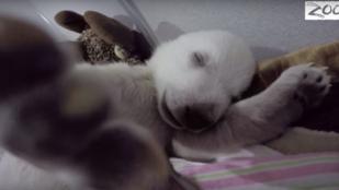 Vajon miről álmodik ez az 5 hónapos jegesmedve?