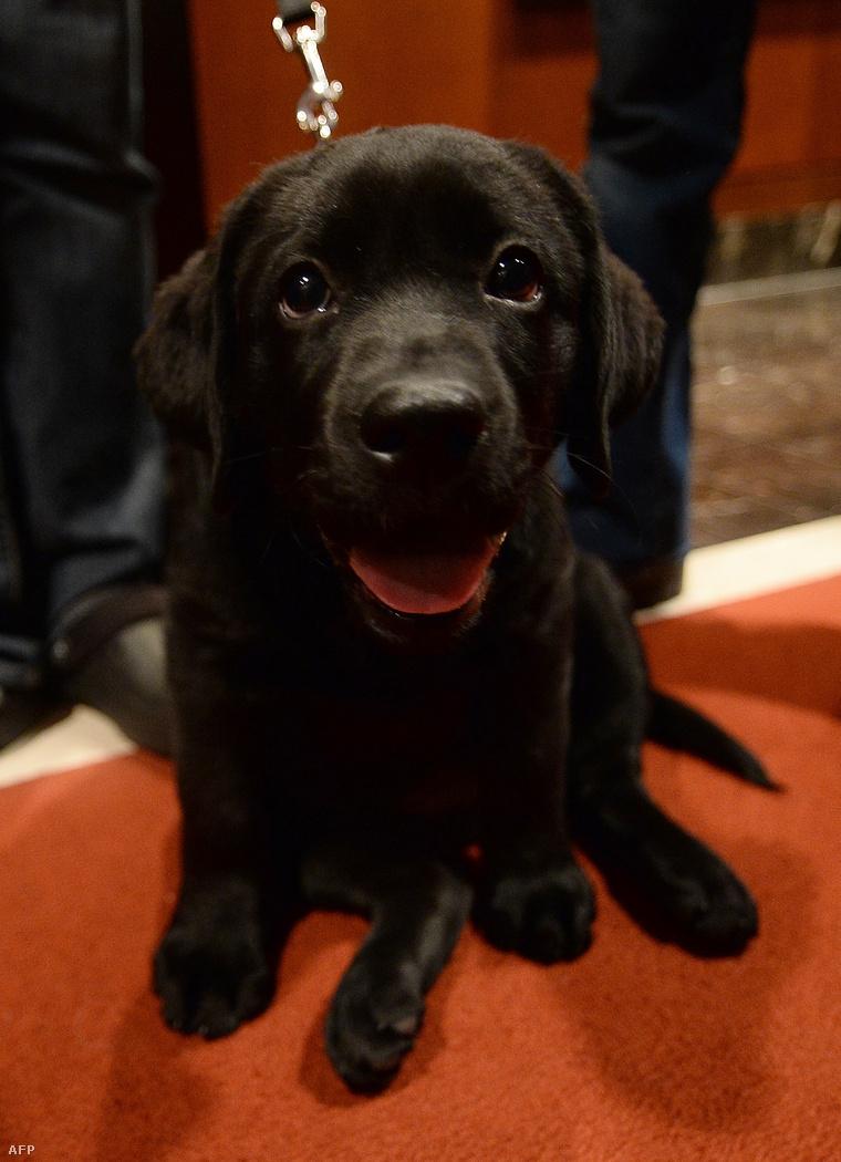 Ez egy csokoládébarna labrador, de nem Brody