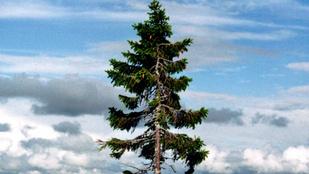 Ez a fa annyi mindent látott, hogy rendkívül bölcs lehet
