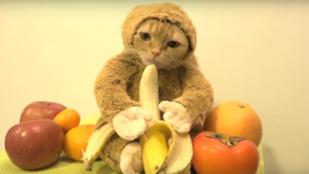 Cukiság vagy szemétség: banánozik a majomjelmezes macska