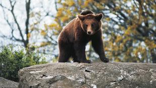 Jimbo hatalmas medve létére is imádja, ha gyömöszkélik a vállát