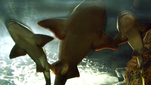 Meglepően sok szűz cápa szül